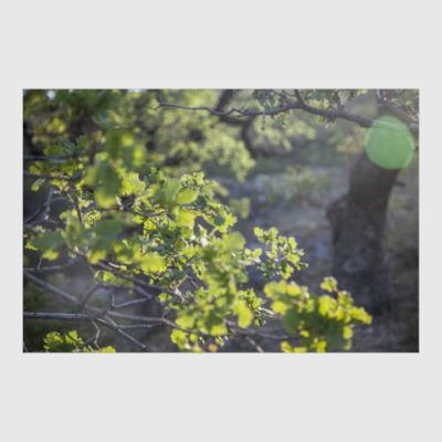 Постер Горный дуб
