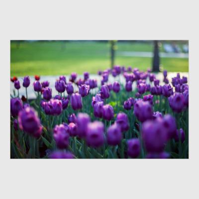 Постер Лиловые тюльпаны