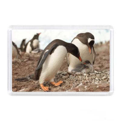 Магнит Пингвины